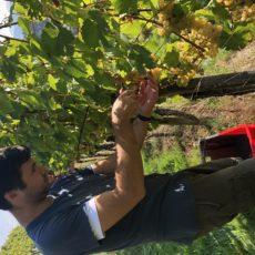 Weinlese 2020 – Tolle Qualität mit viel Frucht
